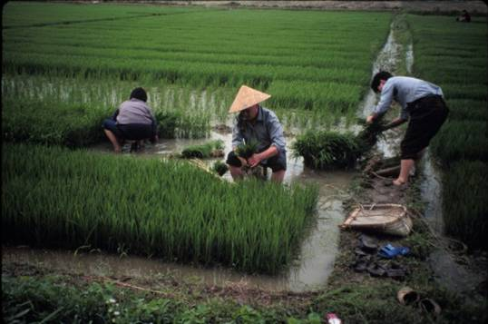 Chinese Government Puts Gm Crops On Backburner